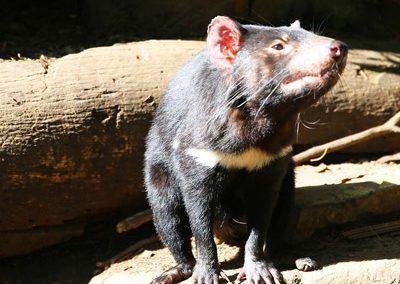 Eco Tourism to protect Tasmanian Devils