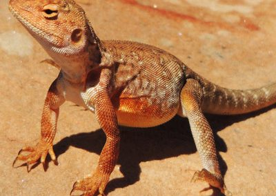Lizards in Australia