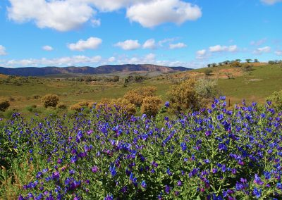 Wildflower Season in the Flinders