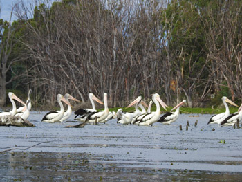 abundant birlife on the Murray River