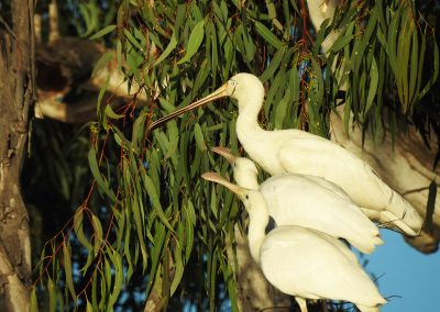 Murray River Birdlife