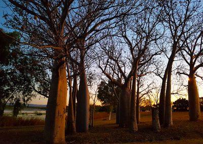 Kimberley Boab Trees