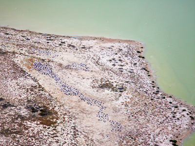 Birds breeding on the shorelines of Lake Eyre