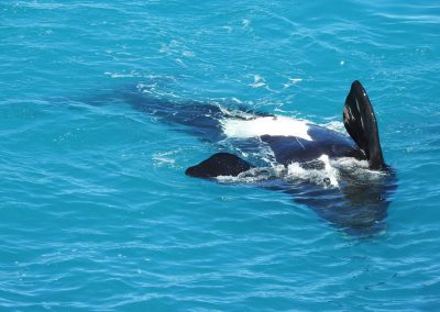 Whale-Watching on the Eyre Peninsula