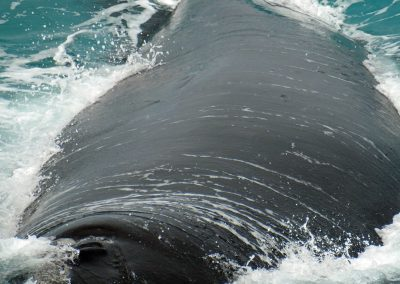 Southern Right Whales at the Head of Bight
